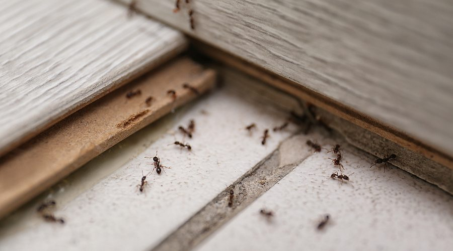Many Black Ants On Floor At Home.